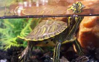 Что любят есть сухопутные черепахи. Обитание в природе. Особенности зимнего рациона питания сухопутных черепах