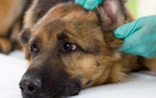 Аденовирусная инфекция у собак: причины, симптомы, лечение. Аденовирус у собак: симптомы, диагностика, лечение