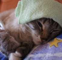Симптомы и лечение микоплазмоза у кошек. Микоплазмоз у кошек: опасность для человека, симптомы и лечение
