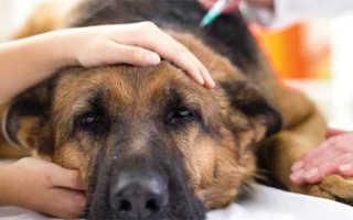 Болеет собака после укуса клеща. Собаку укусил клещ: симптомы и лечение. Опасен ли энцефалит для собак