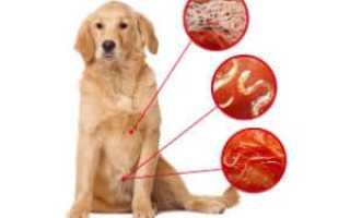Признаки глистов у собаки и симптомы заражения. Глисты у собаки: Признаки, cимптомы и препараты для лечения