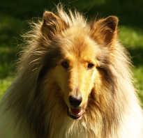 Заболевание пироплазмоз у собак в условиях города если укусил иксодовый клещ. Оберегаем собак от клещей