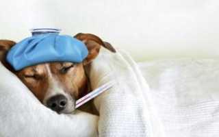 Температура у собаки? Что делать? Как понять, что у собаки температура, что является нормой, а что отклонением