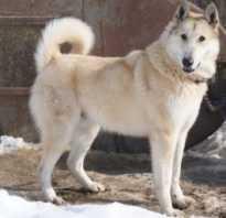 Клички для больших собак девочек сибирская лайка. Клички для собак породы лайка: основные секреты выбора