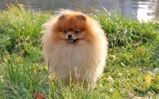 Как называется порода собаки пушистая серая. Пушистые породы собак: обширный список с описаниями и фотографиями