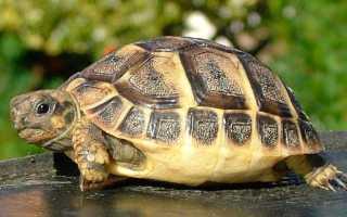 Чем кормить сухопутных черепах в домашних условиях? Что едят сухопутные черепахи в домашних условиях