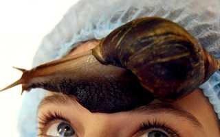 Как получают муцин улиток. Муцин улитки – азиатский секрет здоровой и молодой кожи. Использование улиток в старину