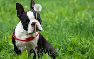 У собаки появился кашель что делать. Лечим кашель у собаки в домашних условиях (кашель, хрип и причины)