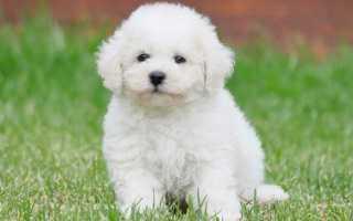 Мохнатый щенок. Мягкие и пышные — породы пушистых собак с фотографиями и названиями: большие, средние и маленькие