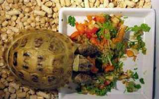 Что едят сухопутные черепахи в домашних условиях? Чем кормить в домашних условиях сухопутную черепаху