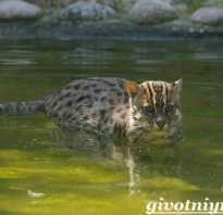 Кот рыболов. Среда обитания и образ жизни кота рыболова. Кот-рыболов – хищный зверь в домашних условиях