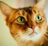 Как видят кошки: секреты и особенности восприятия животными окружающего мира. Видят ли коты призраков