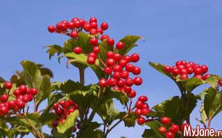 Какое растение на руси называли свадебным деревом. Калина. Свадебное дерево. Ягоды и кора для здоровья