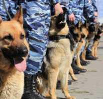 Служебные собаки и их применение на службе в полиции. Дрессировка служебных собак в полиции и в армии