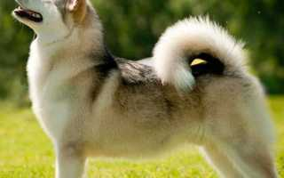 Клички для собак породы русско европейская лайка. Клички для собак породы лайка: основные секреты выбора