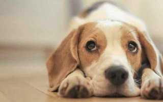 Параанальные железы. Чистим параанальные железы у собаки в домашних условиях (симптомы, лечение, воспаление)
