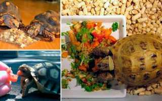 Что можно есть сухопутным черепахам. Принципы кормления водных черепах. Хищным черепахам давать запрещается