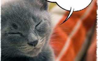 Как кошки мурлыкают и откуда издается звук. Мурлыкают ли большие кошки. Особенности мурлыканья: как и почему возникает