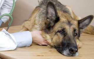 Аденовирусная инфекция у собак: симптомы, лечение. Симптомы и лечение аденовирусной инфекции у собак (в том числе щенков)
