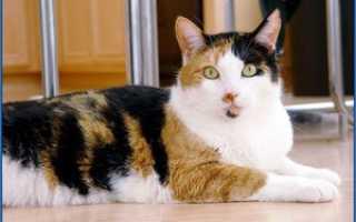 Бывают ли трехцветные коты или только кошки? И о чем говорит трехцветный окрас кошек? Трехцветная кошка: факты и приметы