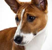 Почему собака не лает? Порода собак, которая не лает. Басенджи — порода собак, которые никогда не лают