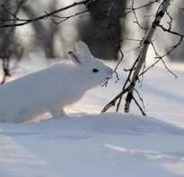 Как ловить зайцев зимой. На зайца с голыми руками. Из какой проволоки изготавливается уловистая петля